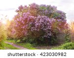 The Blossoming Lilac Bush In...