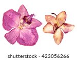 Pink Orchid  Oil Draw...