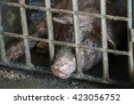 sad looking pig in a pen. | Shutterstock . vector #423056752
