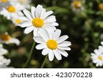 white daisy flowers | Shutterstock . vector #423070228
