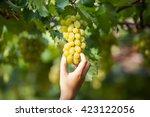 green vineyards  grapes  green... | Shutterstock . vector #423122056
