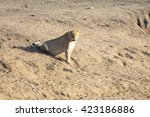 Lioness Lying On Sand In Ambus...