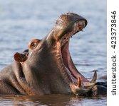 Hippo Yawning Showing Teeth...