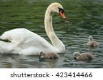 A Mother Swan And Her 3 Baby...