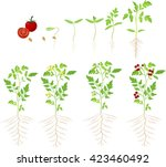 cherry tomato growing stage