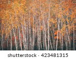 Birch Trees With Autumn Leaves