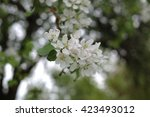 apple blossom | Shutterstock . vector #423493012