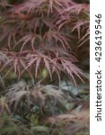 Small photo of Close up of the Japanese maple (Acer palmatum)