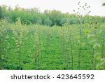 Many Young Trees Grow In The...