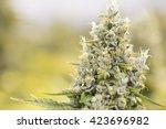 Marijuana Flowering Buds  ...