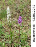 Small photo of close-up of two types of orchids, orchis mascula and Orchis mascula Albina