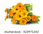 Stock photo marigold calendula officinalis on a white background 423971242