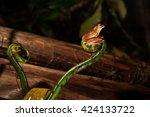 Small photo of Harlequin flying frog / Rhacophorus pardalis