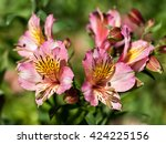 Beautiful Alstoemeria Flowers.