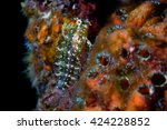 Small photo of A colorful juvenile Blenny blends into it's environment among a sea sponges on the anchor line of the Tokai Maru/USS Cormoran wreck dive site in Apra Harbor, Guam.