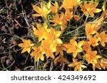 Yellow Crocus Flowers As Very...