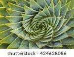 Closeup Of Spiral Aloe Cacti