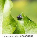 Black Fly On Grass