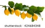 big branch of lemon tree with... | Shutterstock . vector #424684348