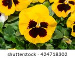 Viola Black And Yellow Pansy...