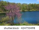 Flowering Eastern  Redbud  And...