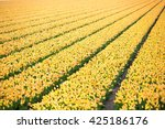 rows of yellow tulips in dutch...   Shutterstock . vector #425186176