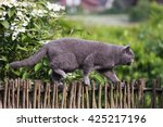 British Shorthair Cat Hunting...
