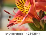 Small photo of Macro of red and yellow Peruvian lily flower (Alstroemeria aurantiaca)