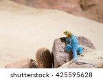 Eastern Collared Lizard  Lizar...
