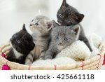 Stock photo portrait of group of young scottish cats studio shot 425661118