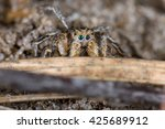 Small photo of Jumping spider (Aelurillus v-insignitus) male in nature