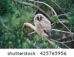 Little Long Eared Owl  Asio...