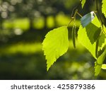 Leaves Of Silver Birch  Betula...