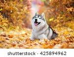 Siberian Husky Lying In The...