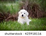 Puppy  Adorable Great Pyrenees...