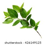 Stock photo twig with green leaves isolated on white 426149125