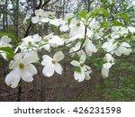 Camus Florida   Flowering...