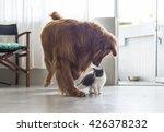 Stock photo british shorthair kitten and golden retriever 426378232