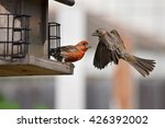 Female House Finch Confronting...