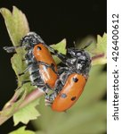 Small photo of A pair of Lachnaia, a genus of leaf beetles in the family Chrysomelidae