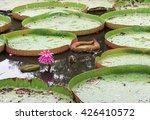 Small photo of Victoria Lily - Victoria amazonica Amazon Waterlily in garden.