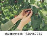 girl picked cherries | Shutterstock . vector #426467782