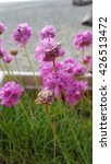 Armeria Or Sea Thrift Flowers...