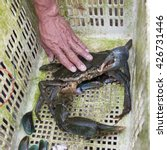Small photo of The big alive crab in old plastic basket compare with hand, Thailand