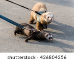 Two Ferret For A Walk With A...