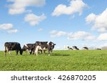 herd of  black and white... | Shutterstock . vector #426870205