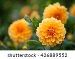 Dahlia Yellow And Orange...