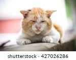 Local Tomcat. Old Male Cat Wit...
