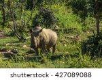 southern white rhinoceros... | Shutterstock . vector #427089088