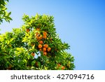 Orange Tree And Blue Sky